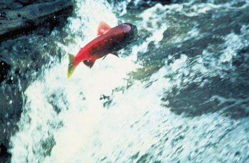 File photo shows a salmon swimming up a stream in Alaska