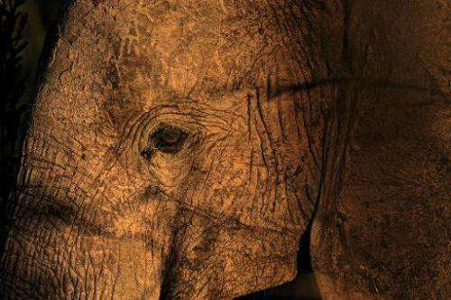 File picture taken on October 13, 2013 shows an elephant in Mikumi National Park, which borders the Selous Game Reserve in south