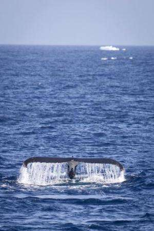 Handout image received on February 16, 2011, by the Sea Shepherd Conservation Society shows the iconic black and white tail of t