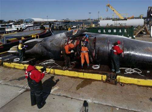 More whales being hit by ships along US East Coast