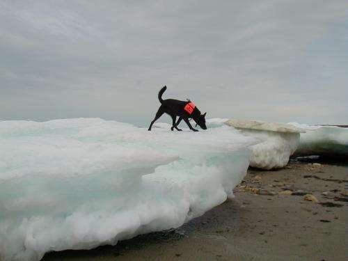 Polar bear diet changes as sea ice melts