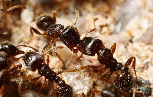Researchers believe ants can lead to human-disease insights