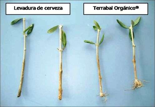 Rooting olive trees for organic farming