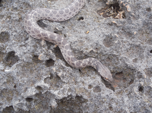 Scientists discover lost species of nightsnake in Mexico