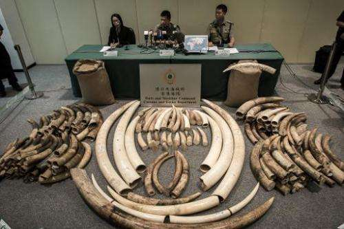 Seized ivory tusks are displayed by Hong Kong Customs officials on October 3, 2013