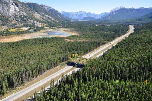 Study proves that wildlife crossing structures promote 'gene flow' in Banff bears