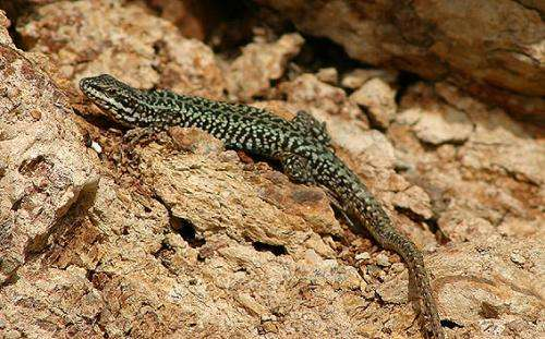 Study shows impact of feral cats on lizards in Greek Islands