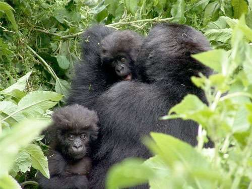 Trekking tourists to become wild gorilla guardians
