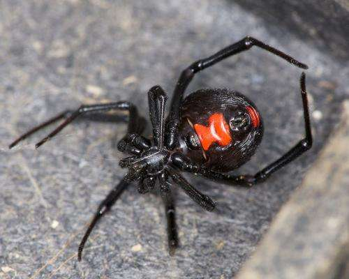 Which is the world's deadliest spider, really?