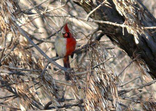 Researchers able to perform extended study of stunning wild northern cardinal gynandromorph