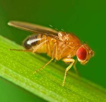Researchers identify brain mechanism for motion detection in fruit flies