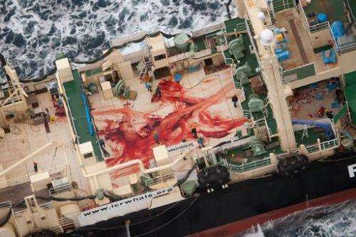 Handout photo taken on January 5, 2014 by Sea Shepherd Australia Ltd shows crew members walking amongst blood, allegedly from fo