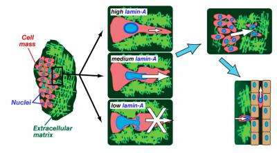 Penn researchers show nuclear stiffness keeps stem cells and cancer cells in place