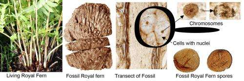 Unique chromosomes preserved in Swedish fossil