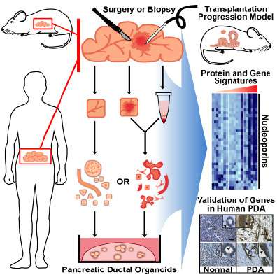 3-D culture system for pancreatic cancer has potential to change therapeutic approaches
