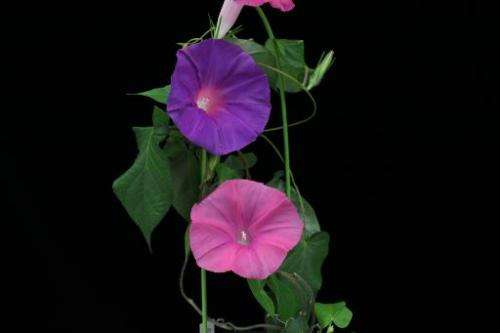 File photo of a morning glory plant where the flowers bloomed for 24 hours at a National Agriculture and Food Research Organizat