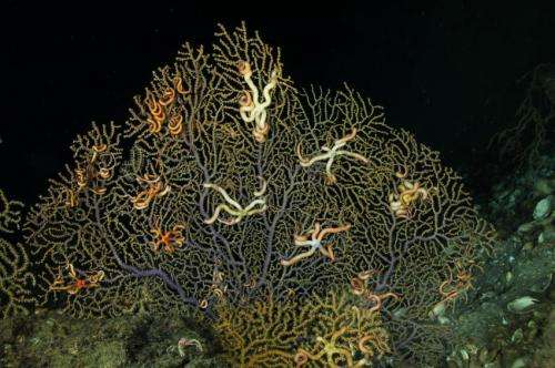 Impact of Deepwater Horizon oil spill on coral is deeper and broader than predicted