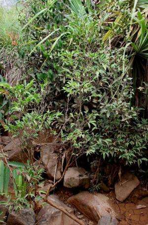 New species of metal-eating plant discovered in the Philippines