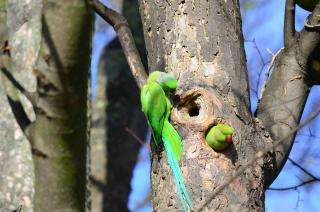 Researchers aim to understand impacts of invasive parrots