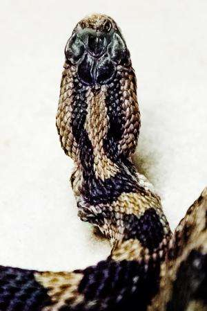 Scientists gear up to fight deadly snake fungal disease