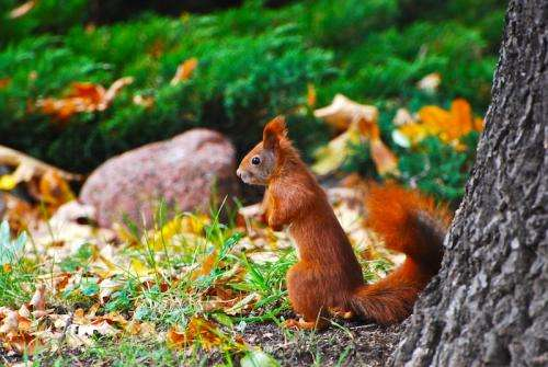 Study reveals new ways deadly squirrelpox is transmitted to red squirrels