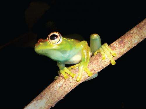 A new species of endemic treefrog from Madagascar