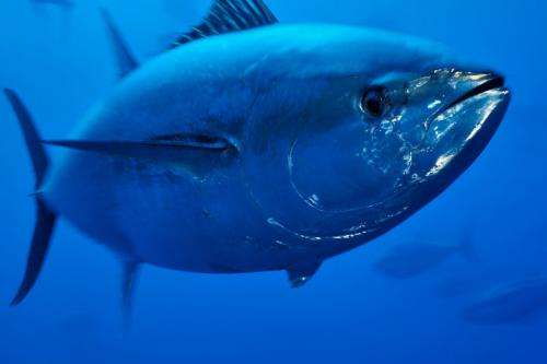 Mediterranean bluefin tuna will recover if conservation ambition remains high
