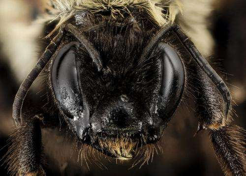 Researchers find rare bee feared headed for extinction