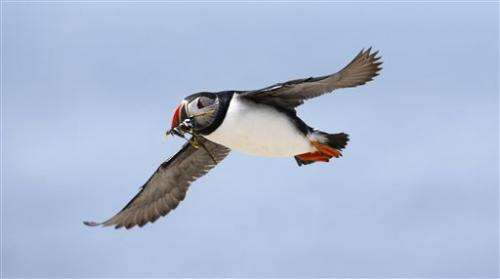 Scientists ask bird oglers to help study puffins