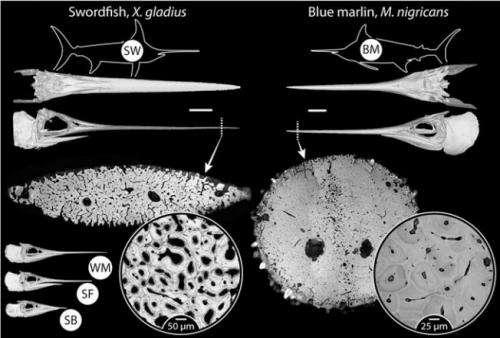 Testing shows billfish demonstrate bone remodeling without osteocytes