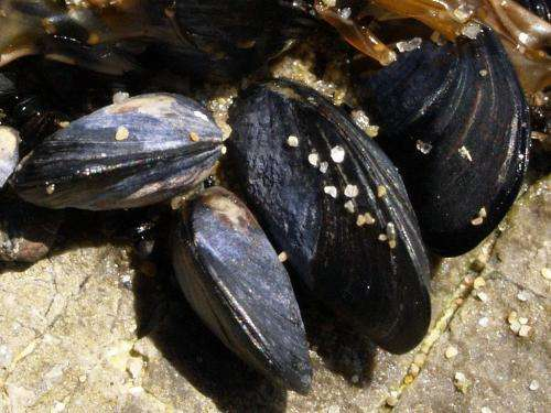 Interstate mussel populations could mingle well with locals