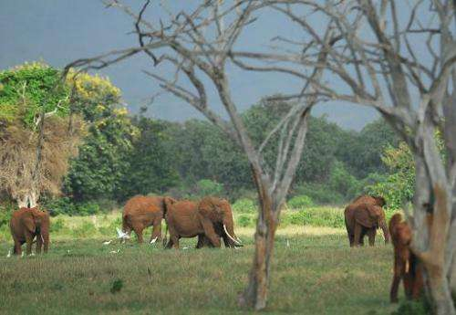 Photo taken on March 20, 2012, shows elephants foraging at the Tsavo-east National park, Kenya