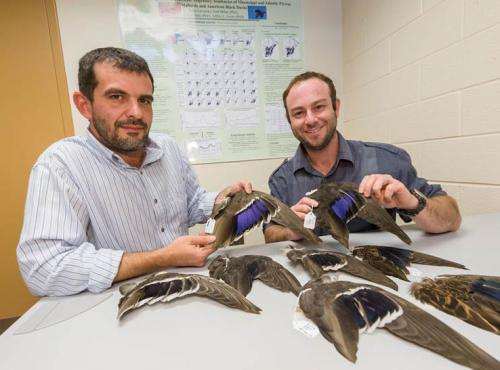 Researchers study species differentiation of ducks
