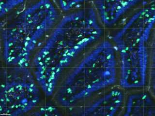 Research explains how cellular guardians of the intestine develop