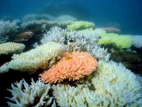 An undated handout photo received from the Australian Institute of Marine Science on October 2, 2012 shows bleaching on a coral