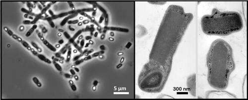 Scientists map protein in living bacterial cells