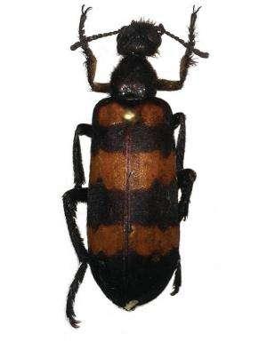 A beetle named Marco Polo