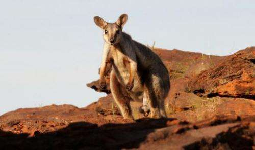 A black-flanked rock wallaby. Australia's big kangaroos are thriving, but wildlife campaigners fear for their smaller cousins
