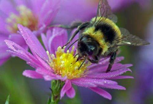 A bumblebee sits on a blooming aster in Nochten, eastern Germany  in October 2013