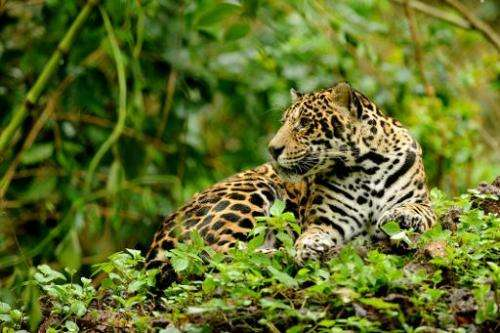 A captive jaguar rests in an enclosure at Petro Velho Farm, a refuge of the non-governmental organization NEX in Corumba de Goia