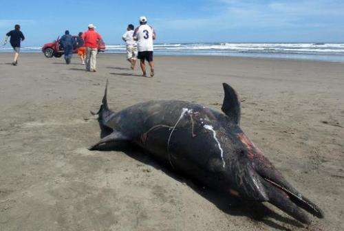 A dead dead dolphin lies on a beach on the northern coast of Peru, close to Chiclayo, some 750 km north of Lima, April 11, 2012