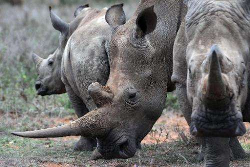 A family of white rhinos is seen on August 7, 2014, at the Ol Jogi rhino sanctuary approximately 300 kilometres north of Nairobi