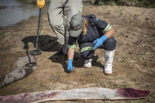 A forensic investigator looks for traces of spent ammunitions where a mutilated white rhino had been found on the banks of a riv