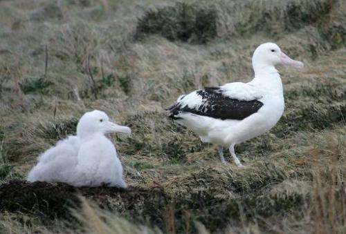 A giant albatross chick (L) and his mother are pictured on their nest, July 1, 2007 on Possession Island in the archipelago of C