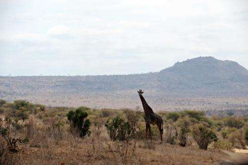 A giraffe is seen standing in the dry plains of Tsavo West National Park in southern Kenya, on August 20, 2009