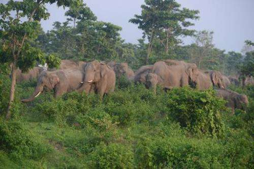 A herd of wild elephants roams in the Kalabari forest close to the village of Naxalbari, India, on June 3, 2014