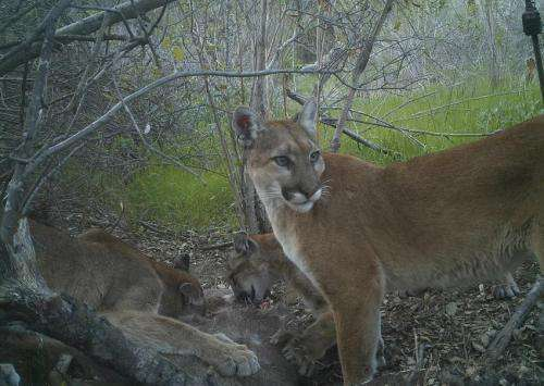 A highway runs through it: Mountain lions in southern California face genetic decay