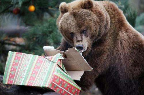 A Kamchatka brown bear opens a Christmas parcel in its enclosure at the Tierpark Hagenbeck zoo in Hamburg, northern Germany on N