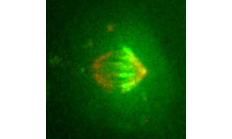 A key component of cell division comes to light