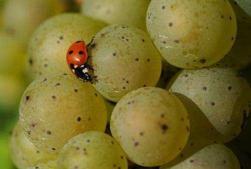 A ladybird sits on a grape on September 24, 2013 in Boeddiger, Germany